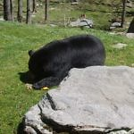 Black bear grandfather mountain