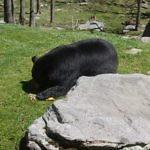 Black bear grandfather mountain